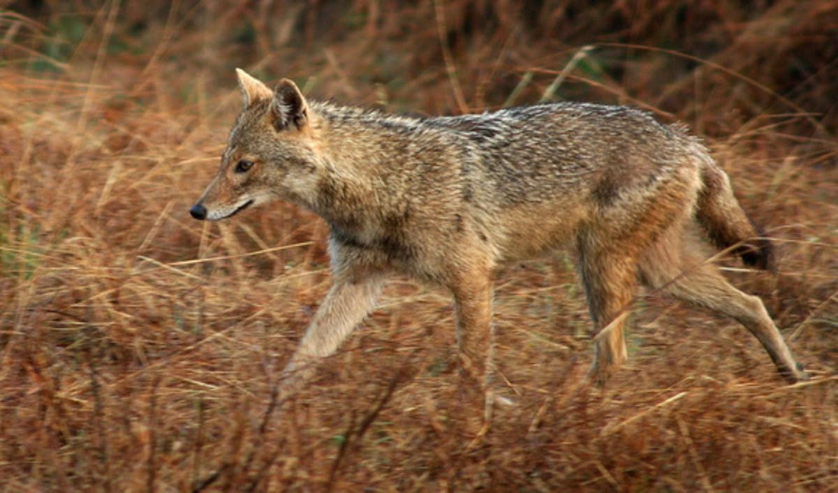 Honsu or The Japanese Wolf