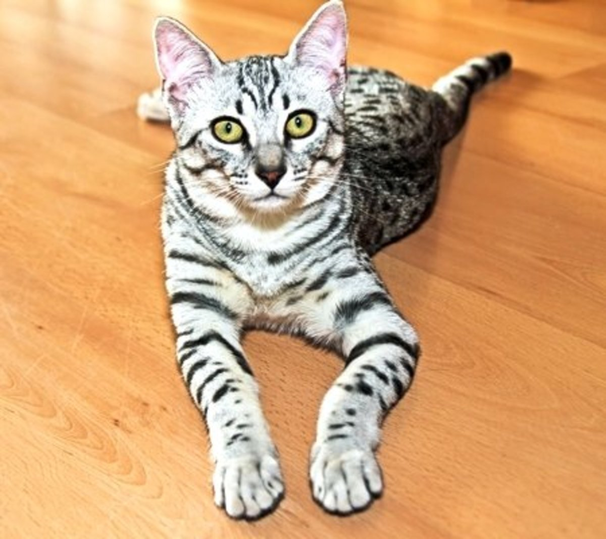 The Egyptian Mau - Cat Breed Information and Care