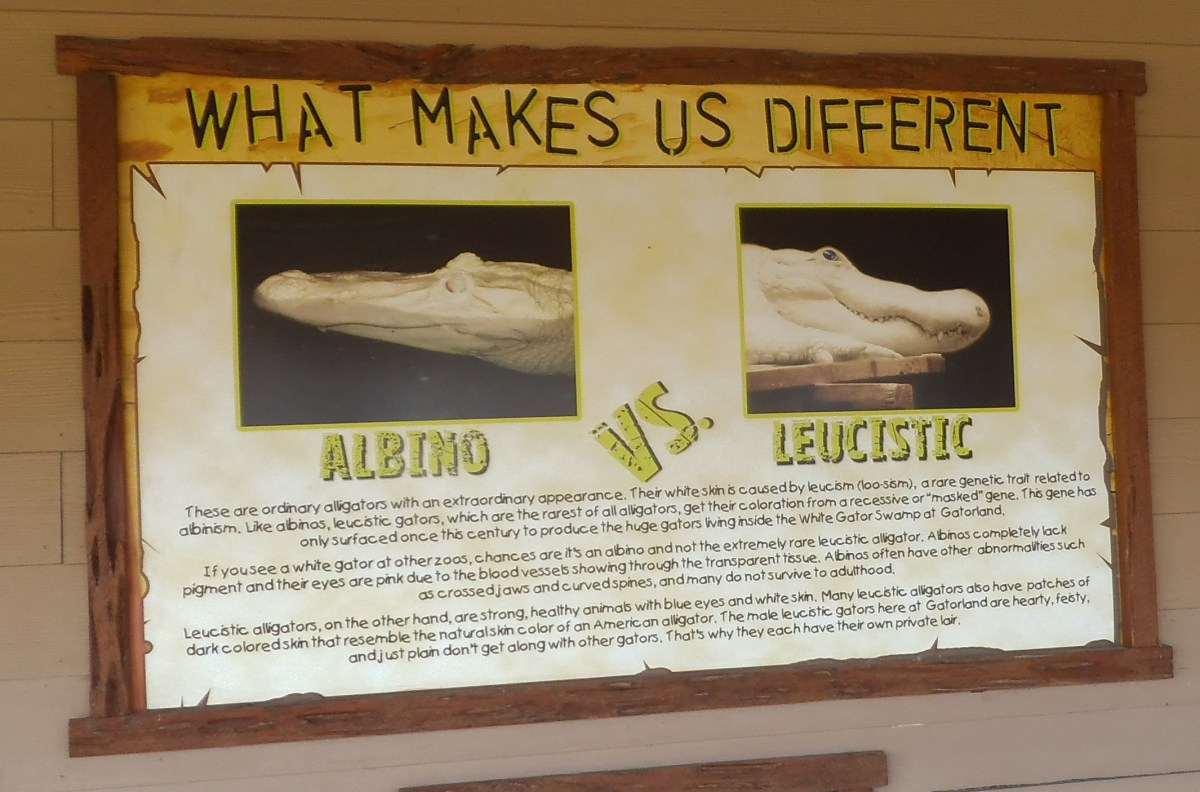 "Since the sign may be hard to read in my photo, I'll include the information here. It says, ""Leucistic alligators are strong, healthy animals with blue eyes and white skin."""