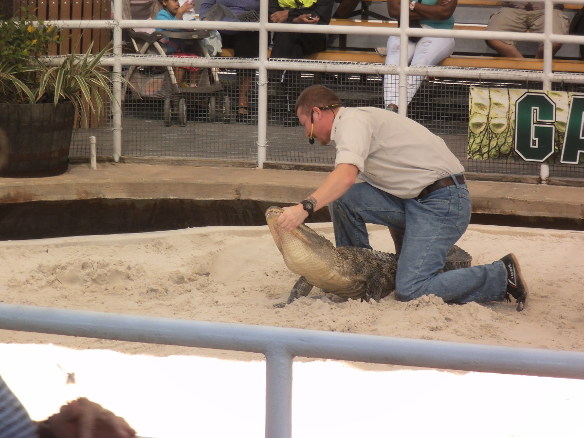 Check the schedule so you don't miss one of the alligator wrestling demonstrations.