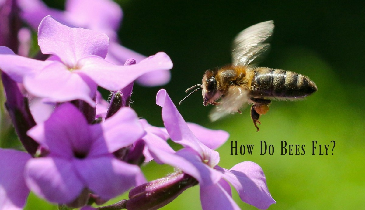 How Do Honey Bees Fly and Other Facts About Honey Bee Flight