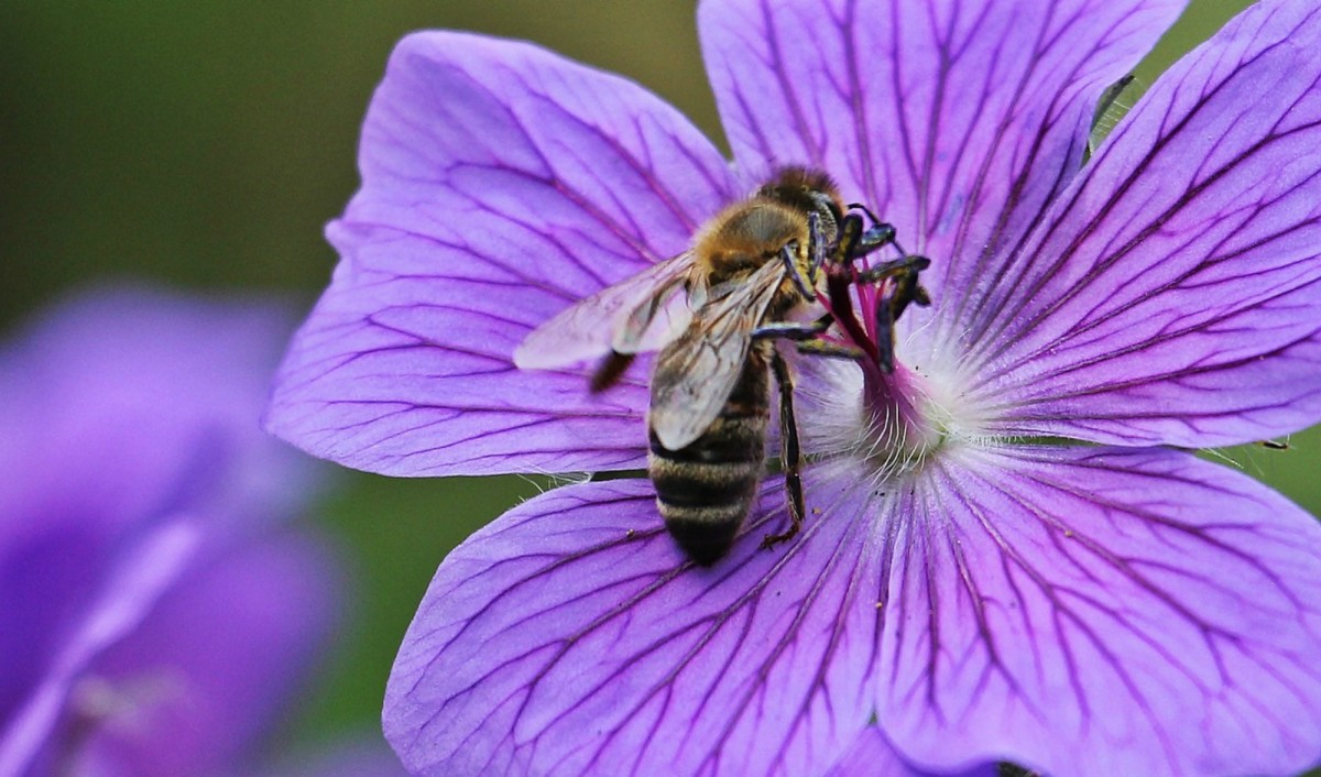 A bee will visit between 50 and 100 flowers on a single trip.