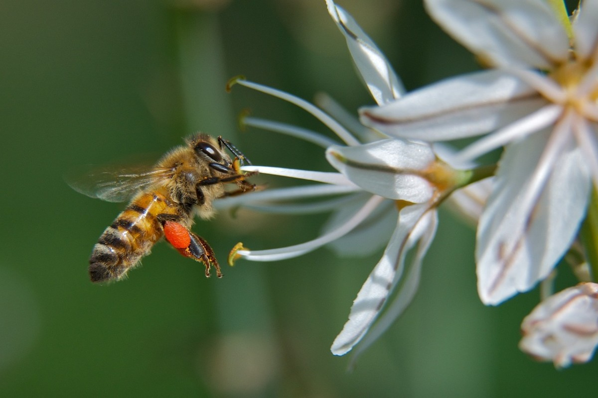 A bee can carry 16 mg of pollen in the pollen baskets on its legs.