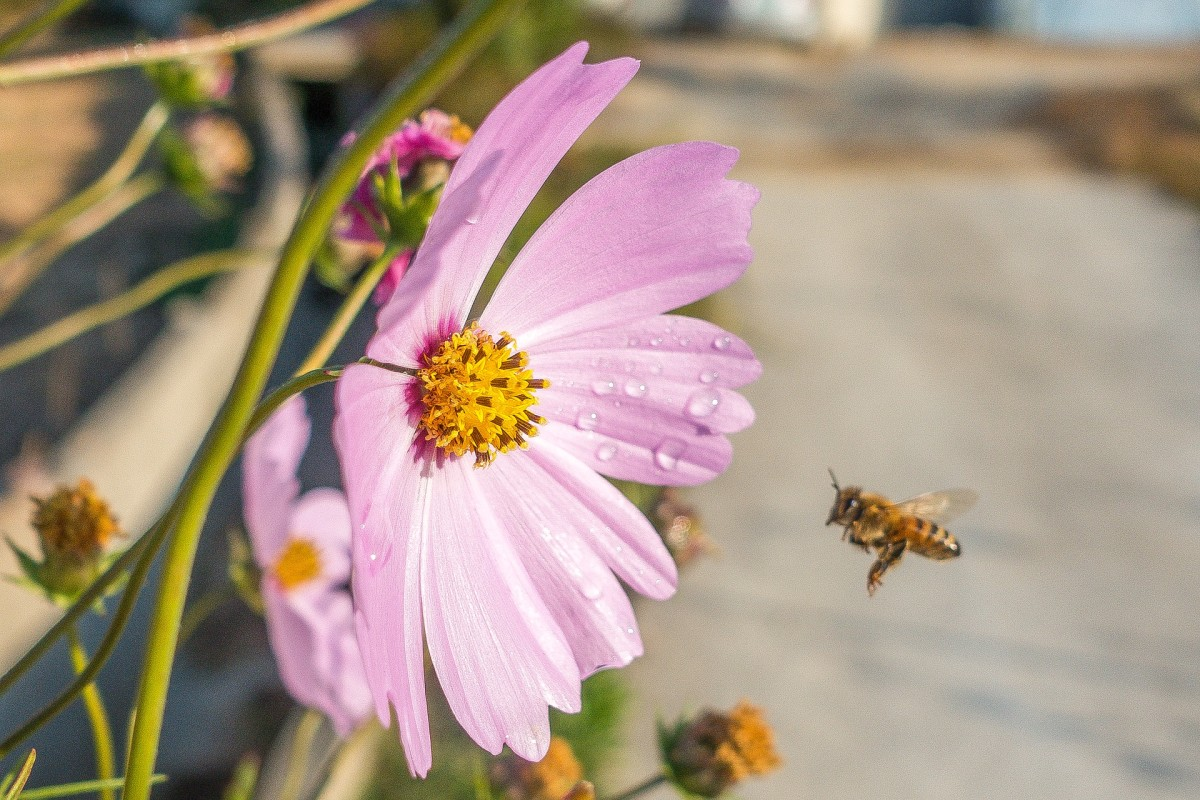 Honey bees flap their wings about 230 times a second when in flight.