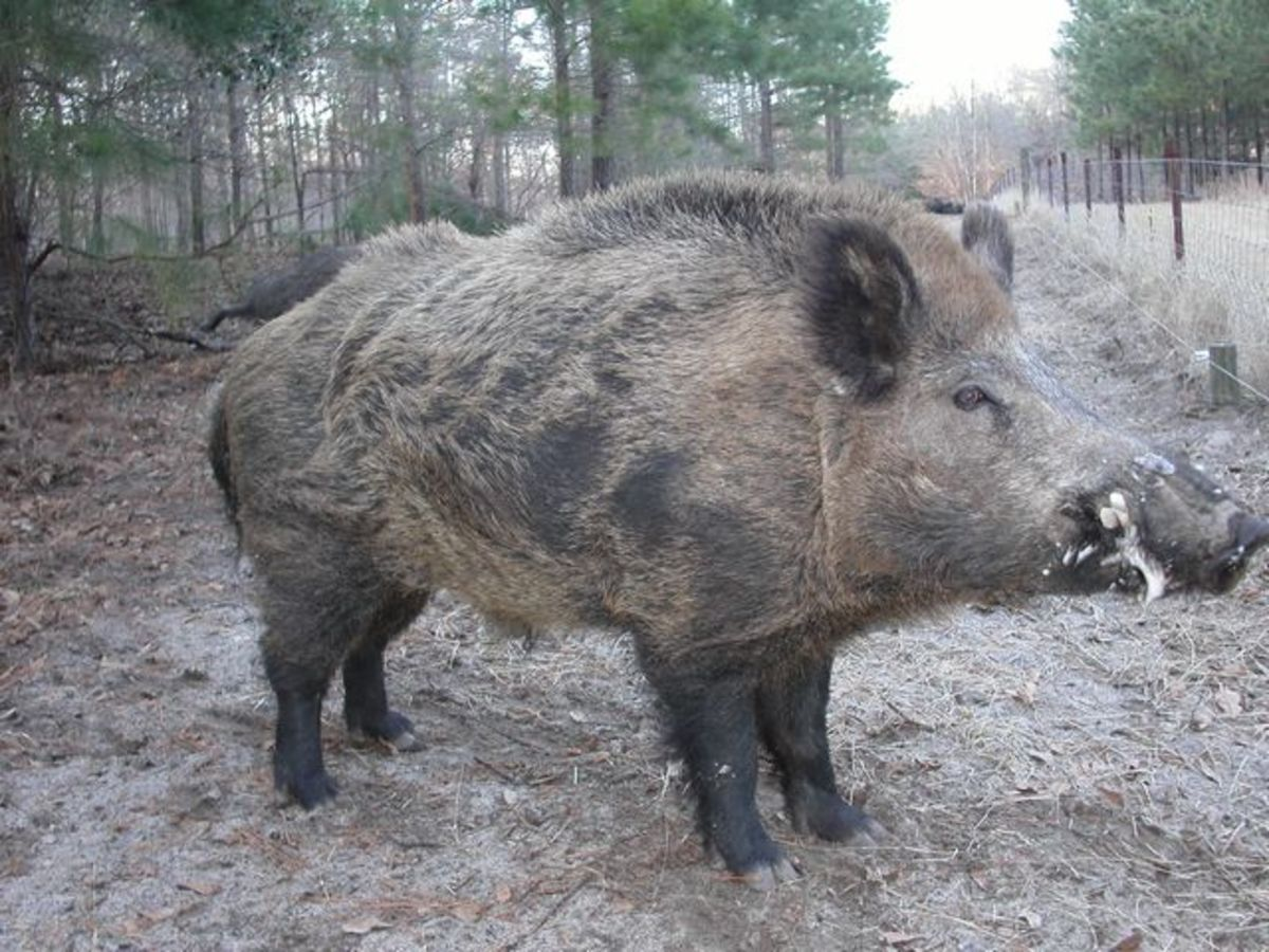 A Siberian pig, that the hair for the toothbrushes came from.
