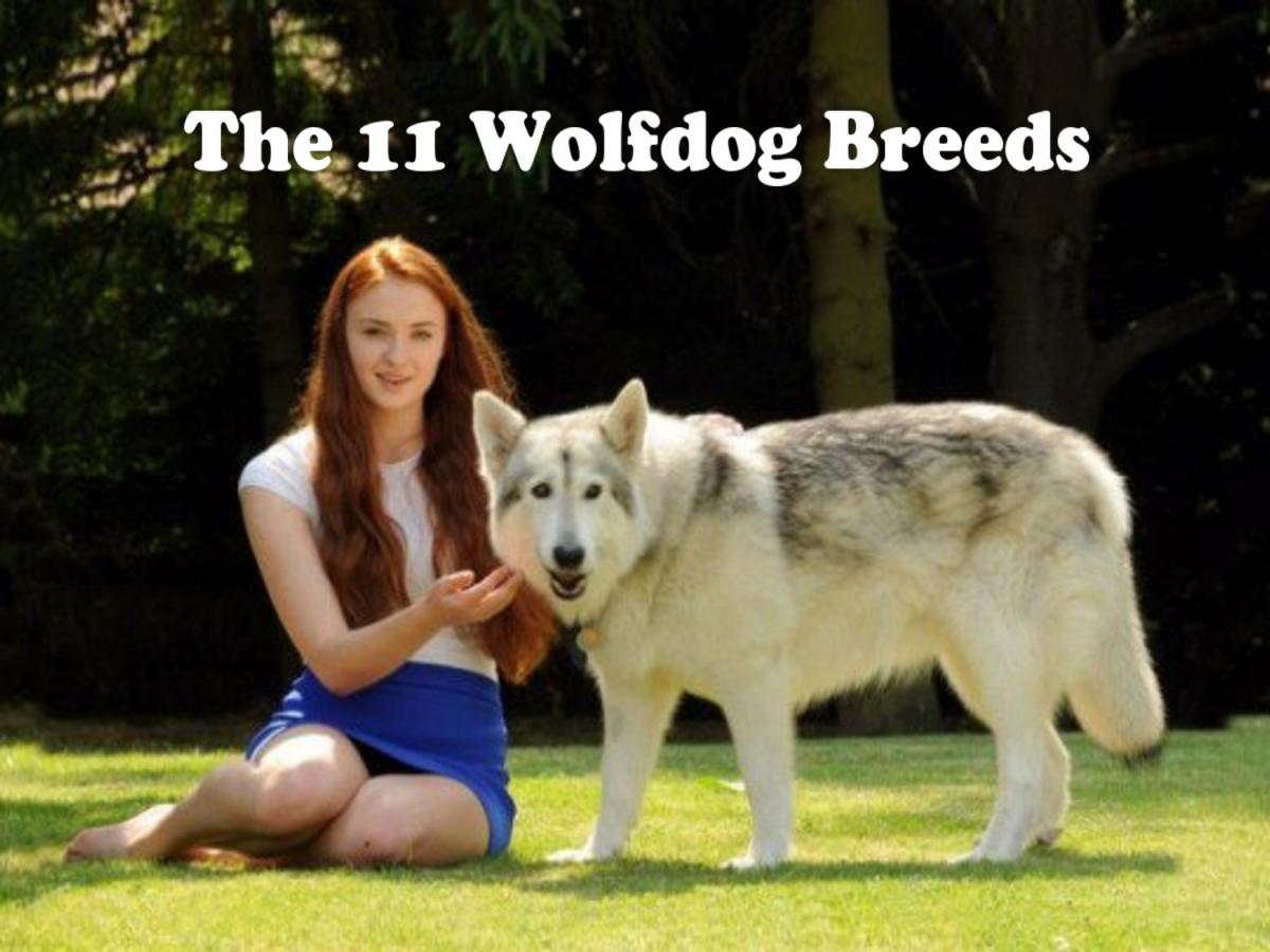 The wolfdog breeds (Wolf hybrid dogs)
