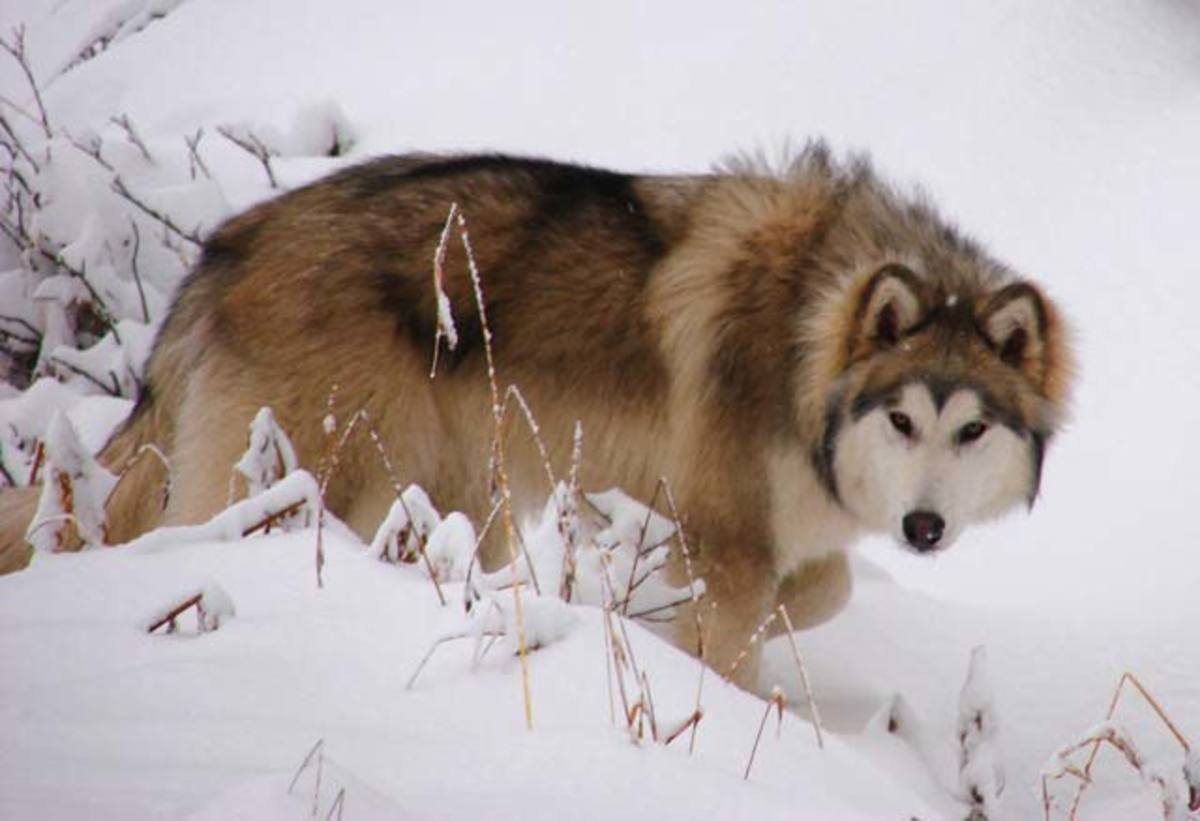 Wolamute (Alaskan Wolf Dog)