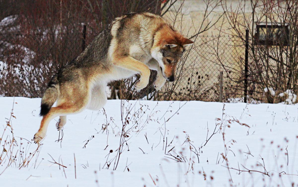 Saarloos Wolfhond or Saarloos Wolfdog