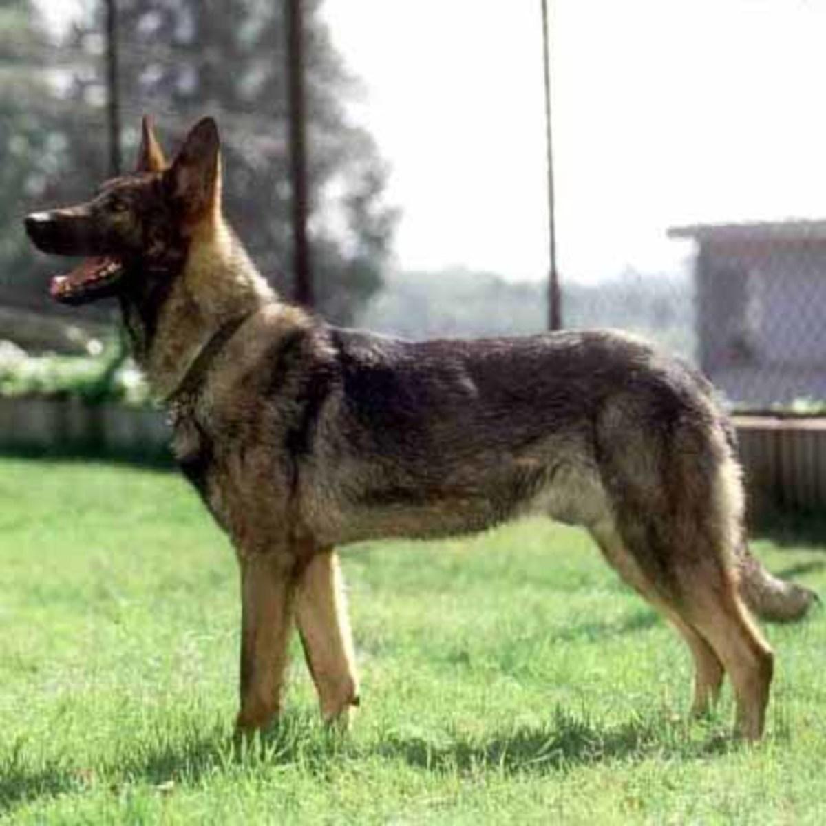 Kunming Wolf Dog or Chinese Wolf Dog