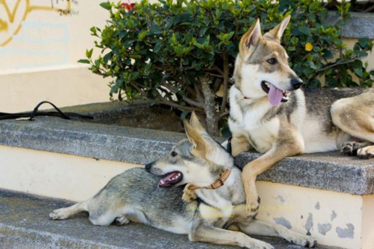 The Hierran Wolfdog or Perro Lobo Herreño