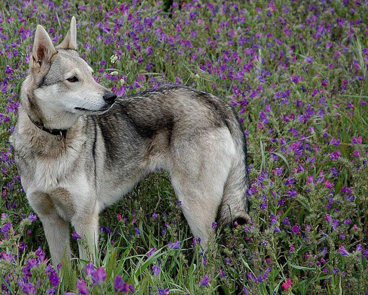 The Hierran Wolf Dog or Perro de Pastor Herreño