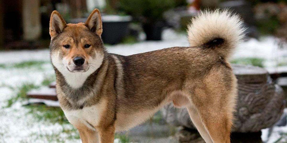 Shikoku dog or Japanese Wolfdog
