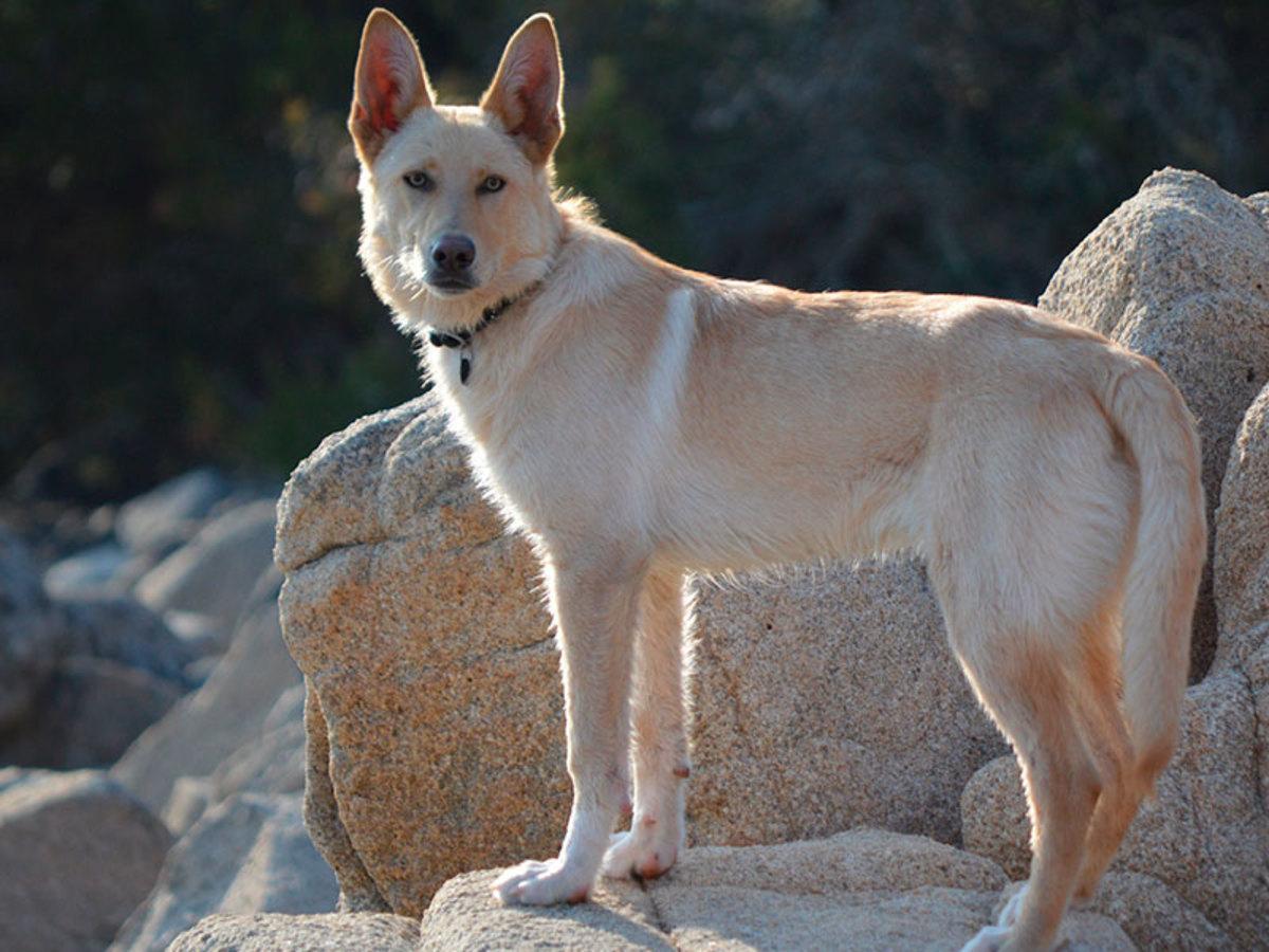Galician Celtic Wolfdog or Can de Palleiro