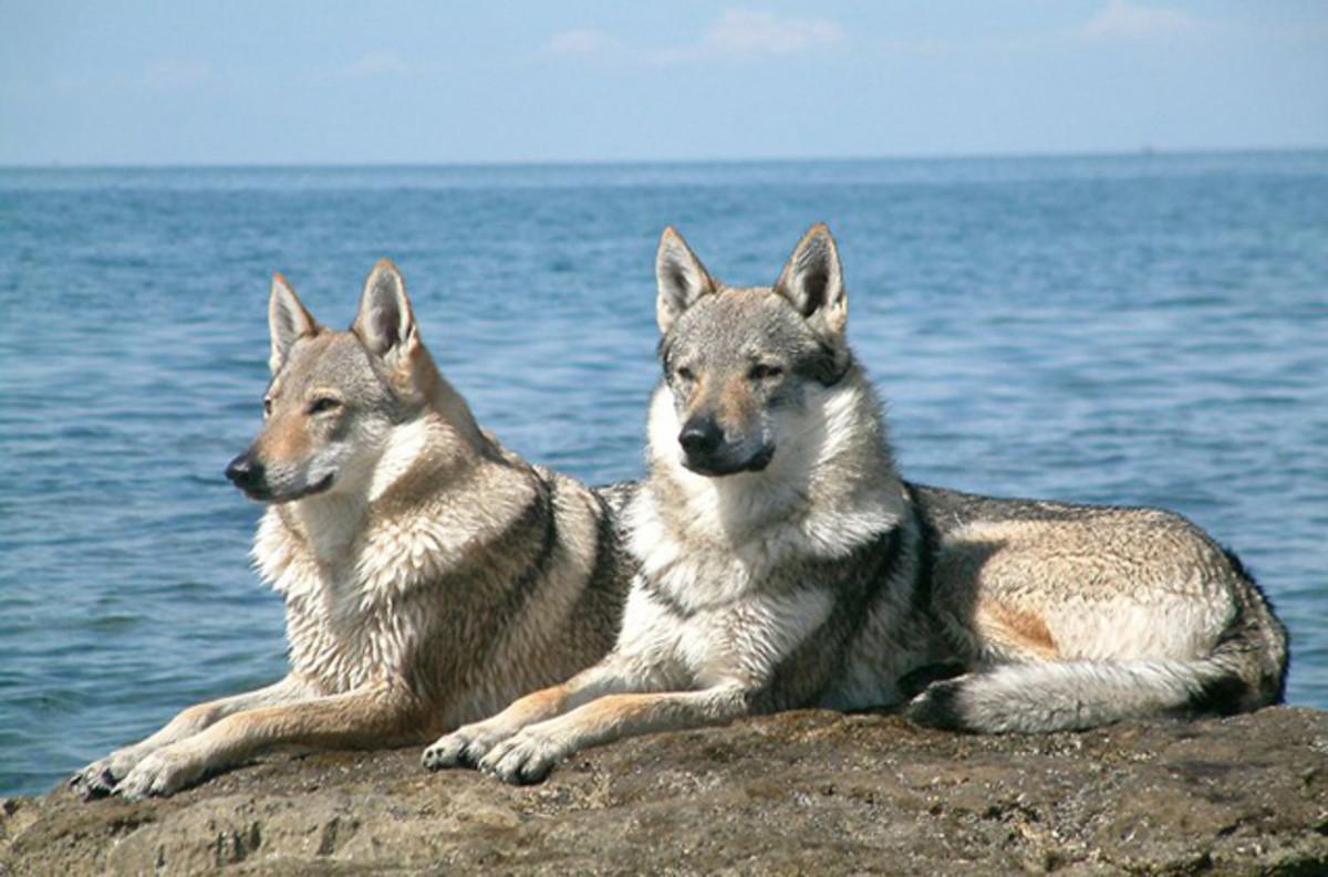 Czechoslovakian Wolf-dog