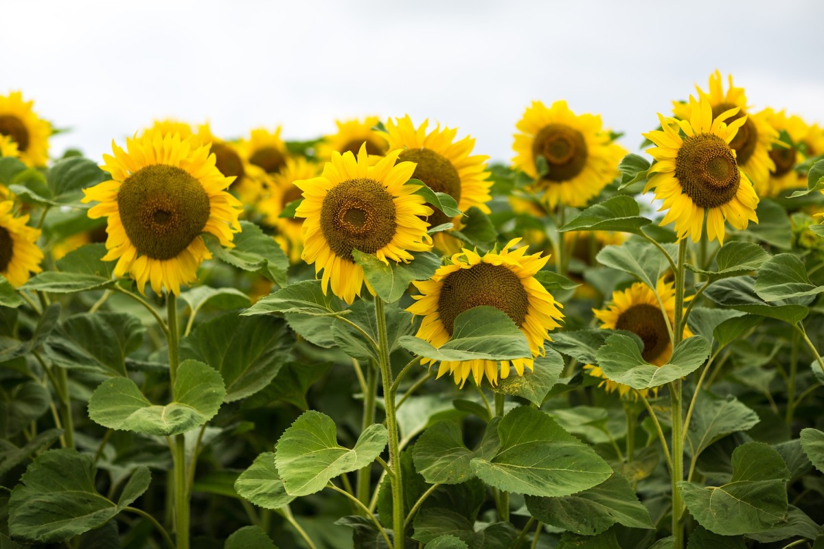 How to Process Sunflowers for Seed Saving or Roasting