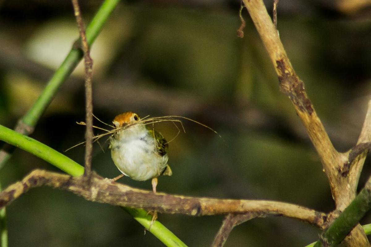 A tailorbird gathering stitching material from which to create a nest.