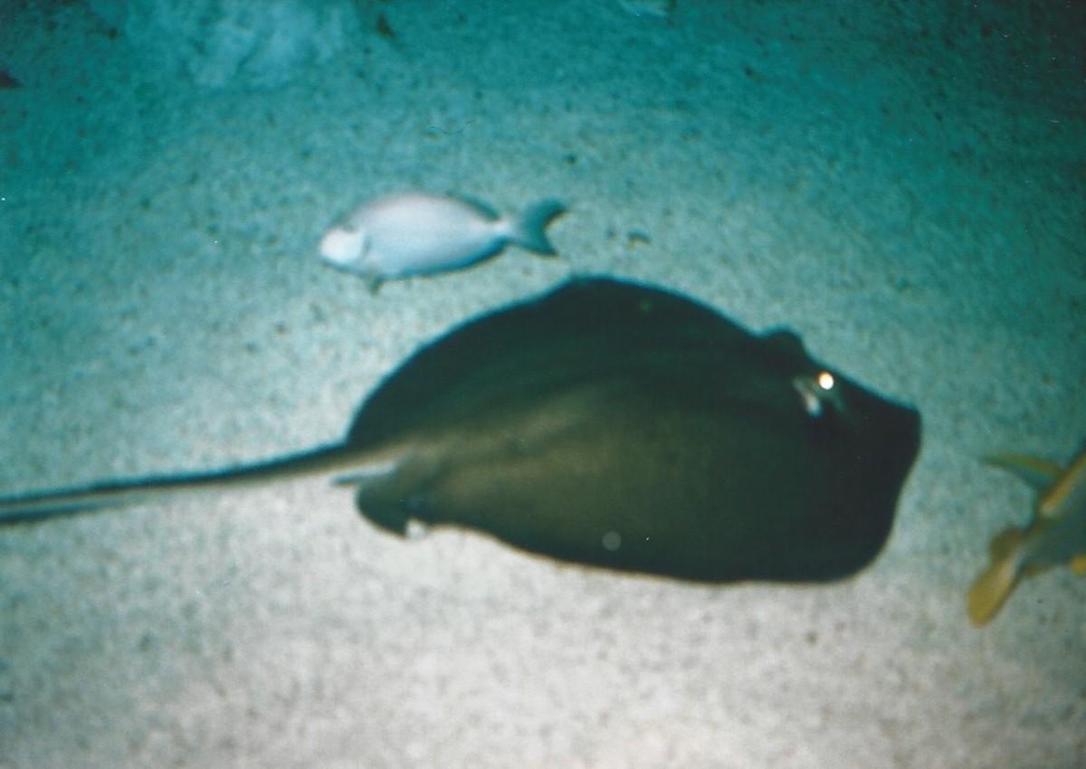 A stingray at the National Aquarium.