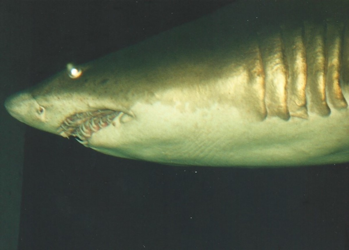 A shark at the National Aquarium