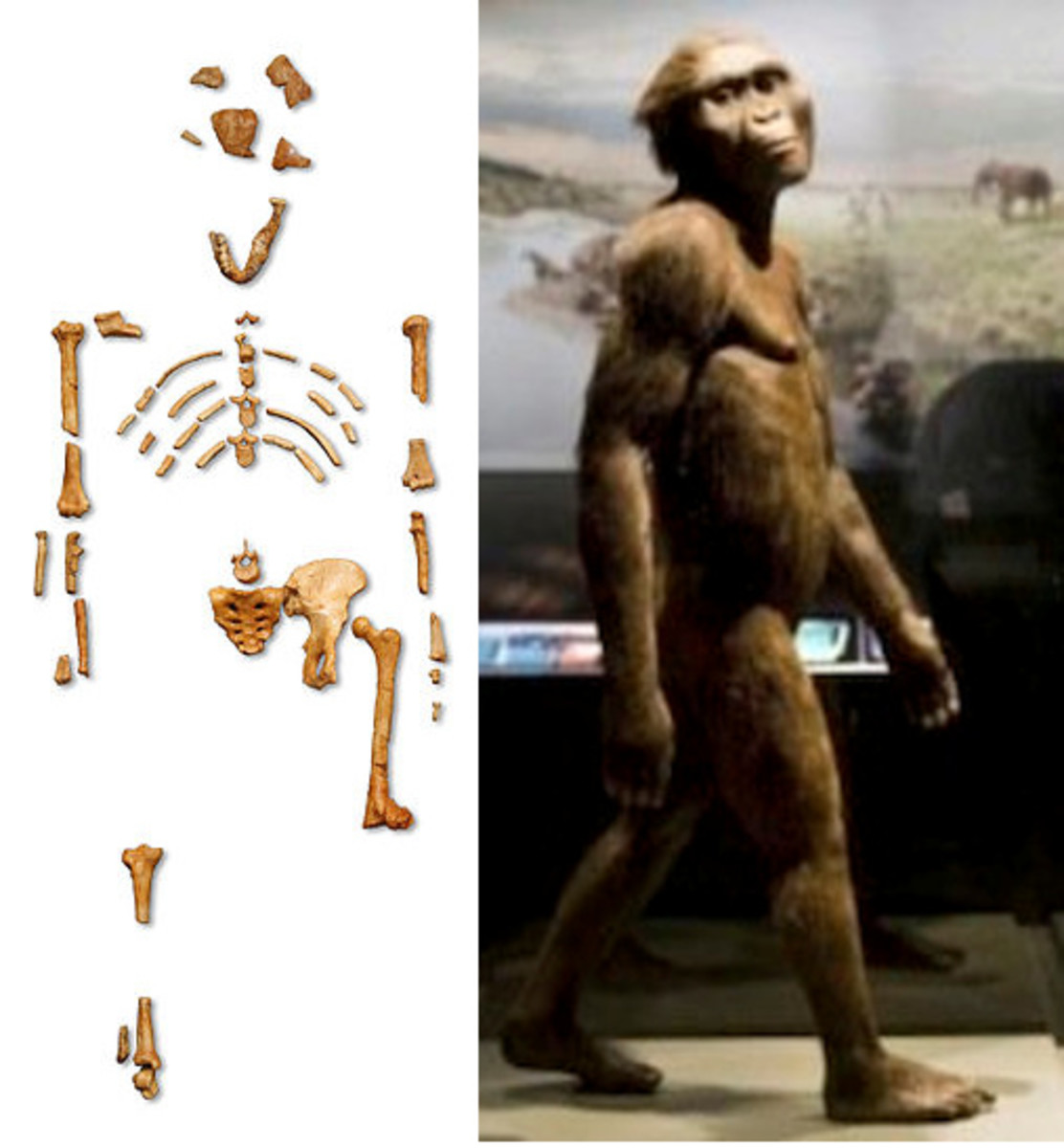 The picture of the bones from Lucy are from wikipedia. The picture of the recreated model of a walking Lucy is from https://answersingenesis.org/human-evolution/lucy/last-stop-before-returning-home/ .