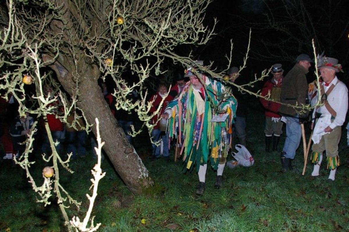 Wassailing at Maplehurst, West Sussex, England. Part of the ceremony includes anointing the roots of the tree with cider to put back some goodness into the soil.
