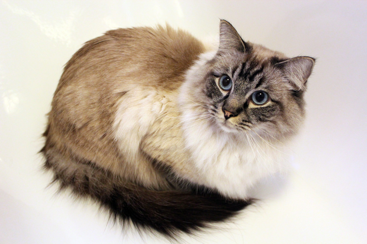 Seal Tabby Colorpoint Ragdoll Cat