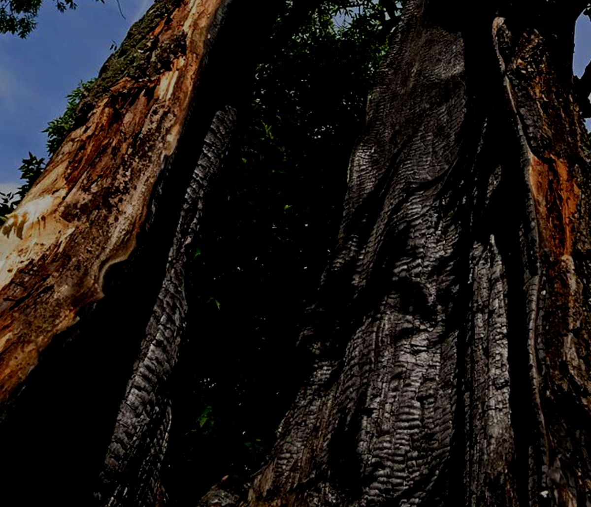 Burned out tree