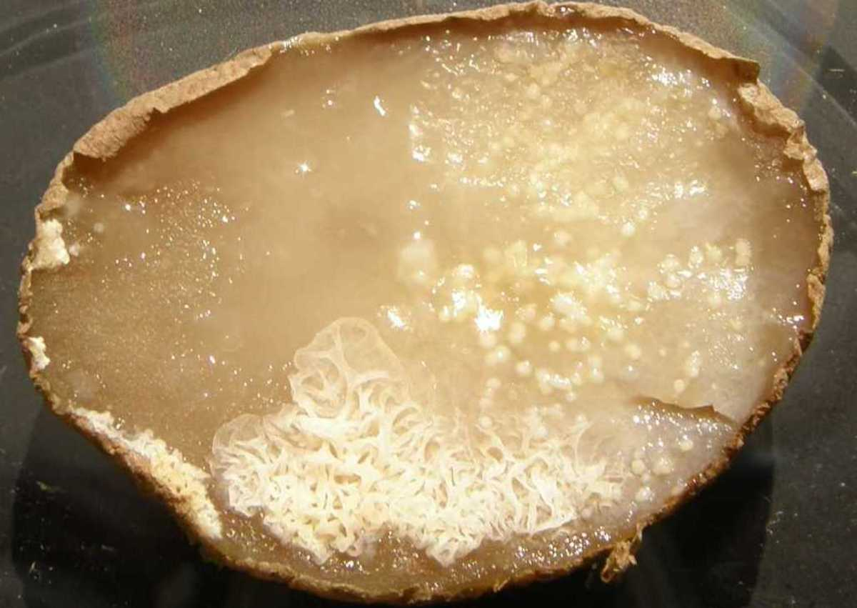 Bacteria growing on a potato slice