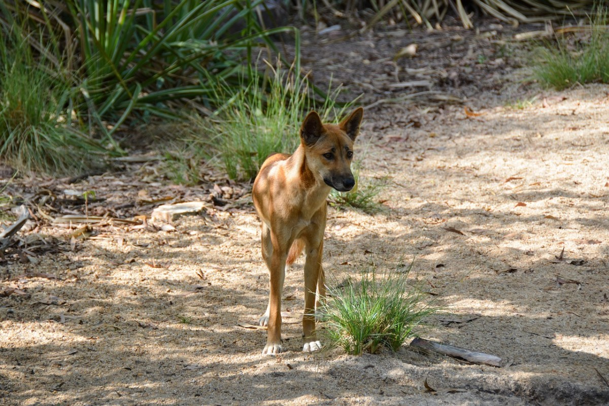 At the time of Azaria Chamberlain's death, many Australians didn't believe dingoes posed a serious threat to humans