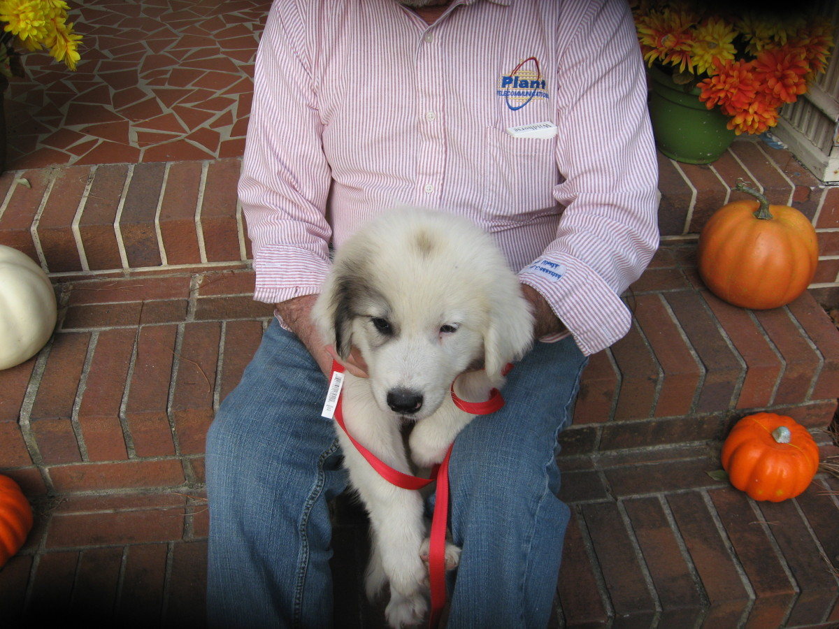 Do Great Pyrenees Dogs Make Good Pets?