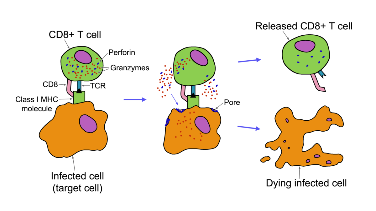 The protein CD8 stabilizes the antigen-Class 1 MHC molecule complex, resulting in the release of perforin and granzyme, which are virtually serving same function as cytokines.