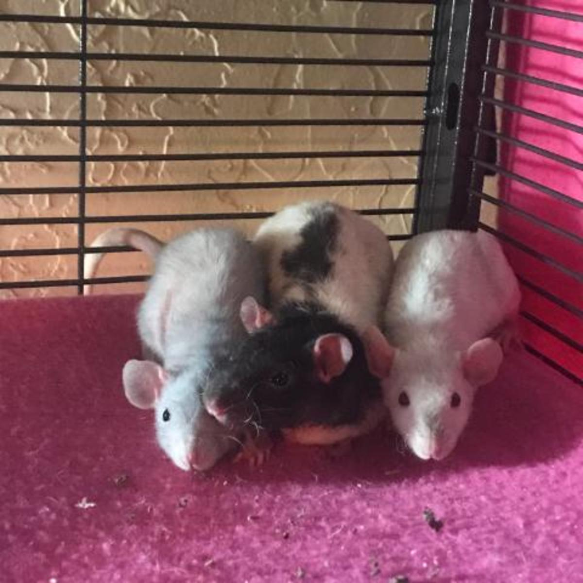 I brought these rats home in a group. They  now have a very close bond!