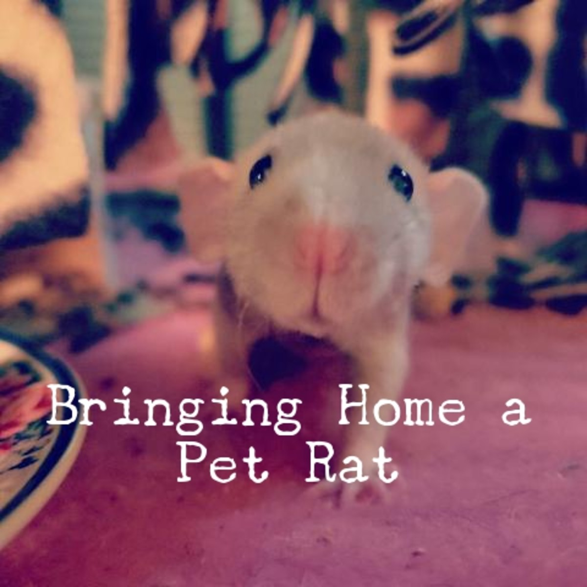 This is one of my rats within the first couple of days that I brought him home