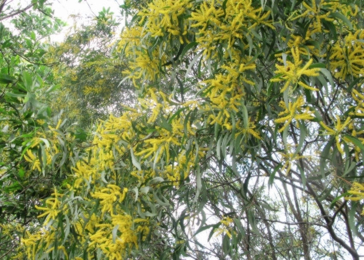 Acacia tree with full of yellow blossoms