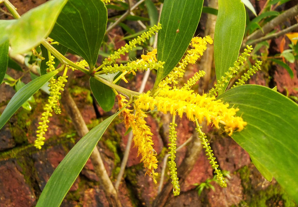 Acacia inflorescence with numerous flowers which disperse pollen