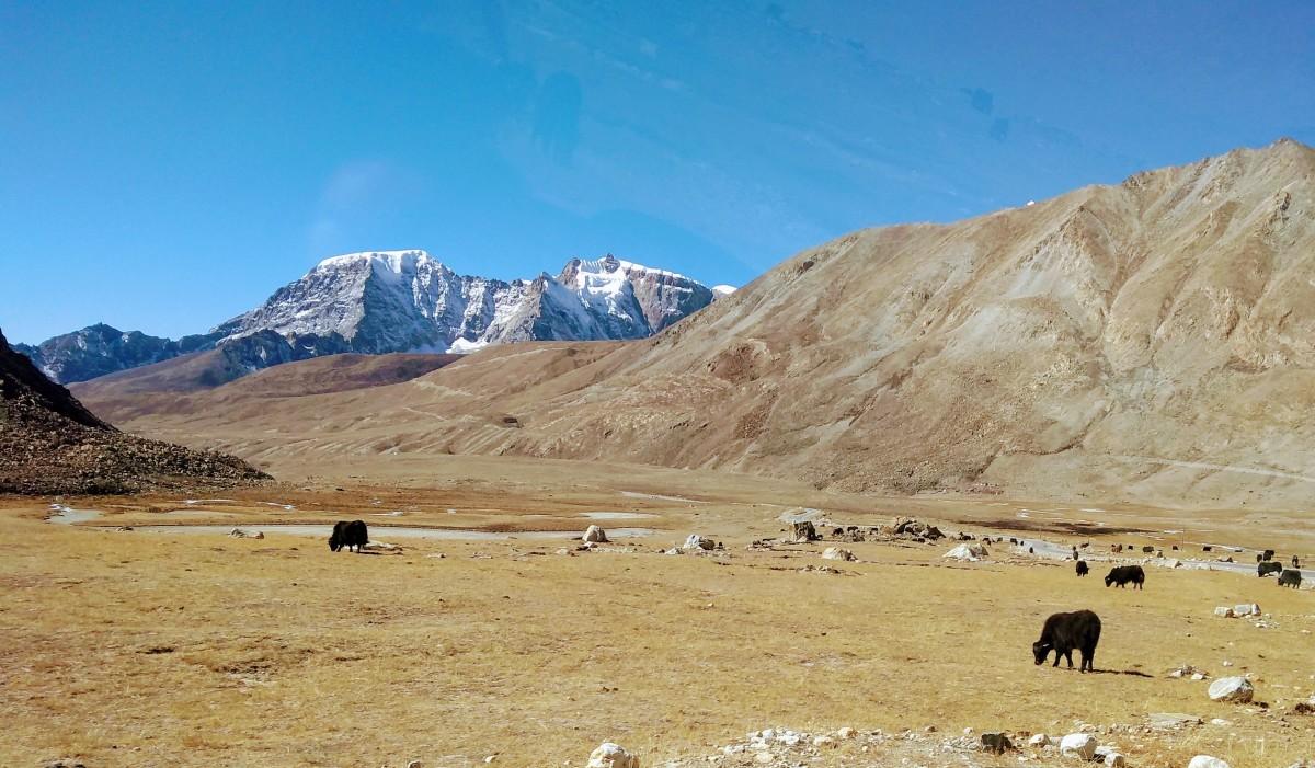 Flat land on both sides of the road and hills, brown- or black-colored coat yaks grazing in low oxygen and in extremely cold weather. The high capacity of their lungs and insulation of their coat help them survive there.