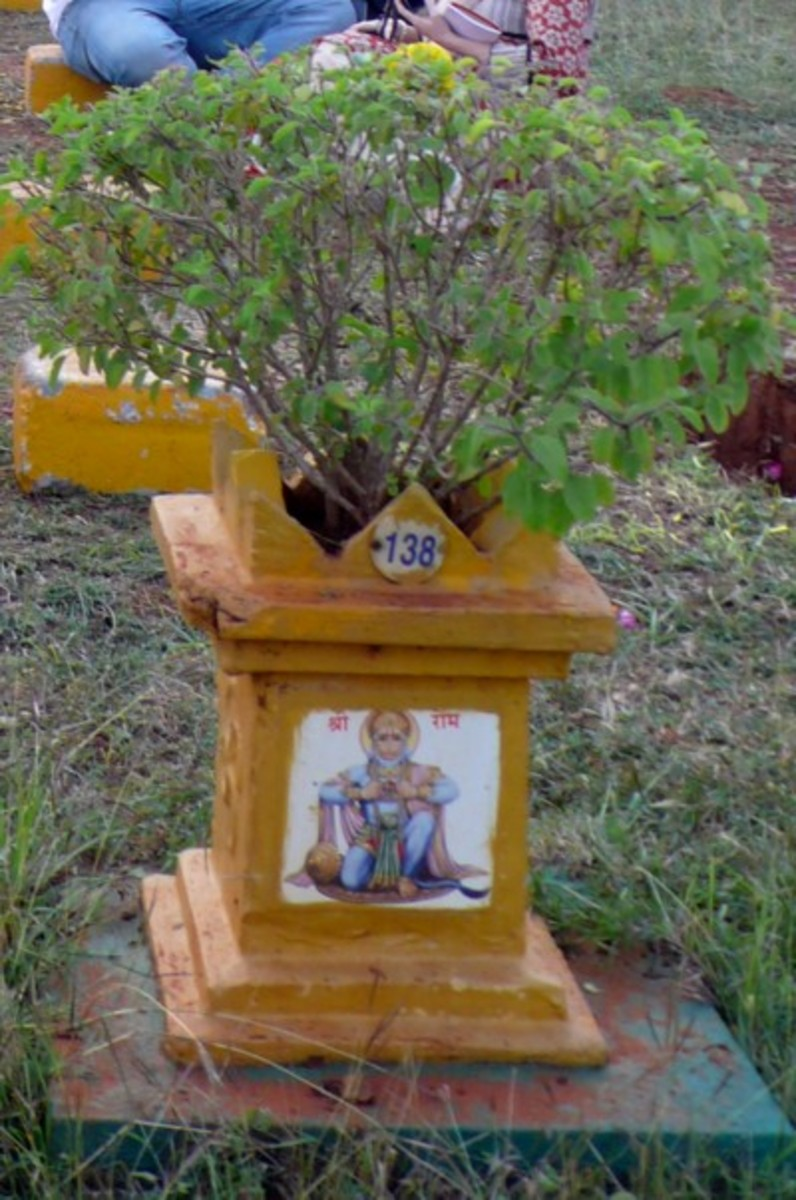 Tulsi plant planted in special structures for worship