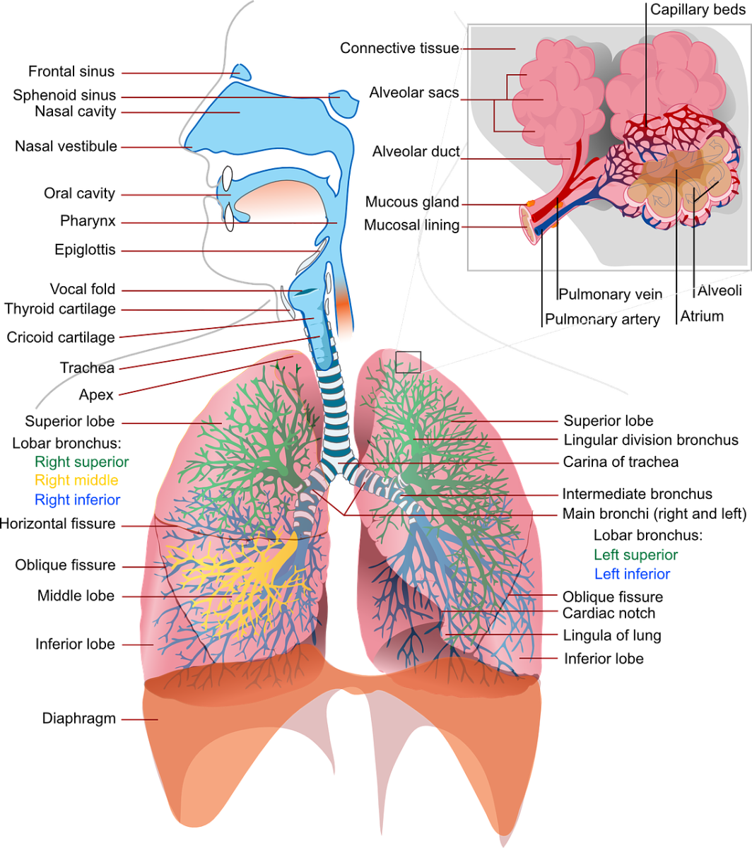 A labeled illustration of the lungs.