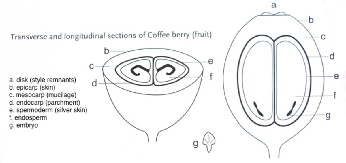 Transverse and Longitudinal Sections of the Coffee Berry