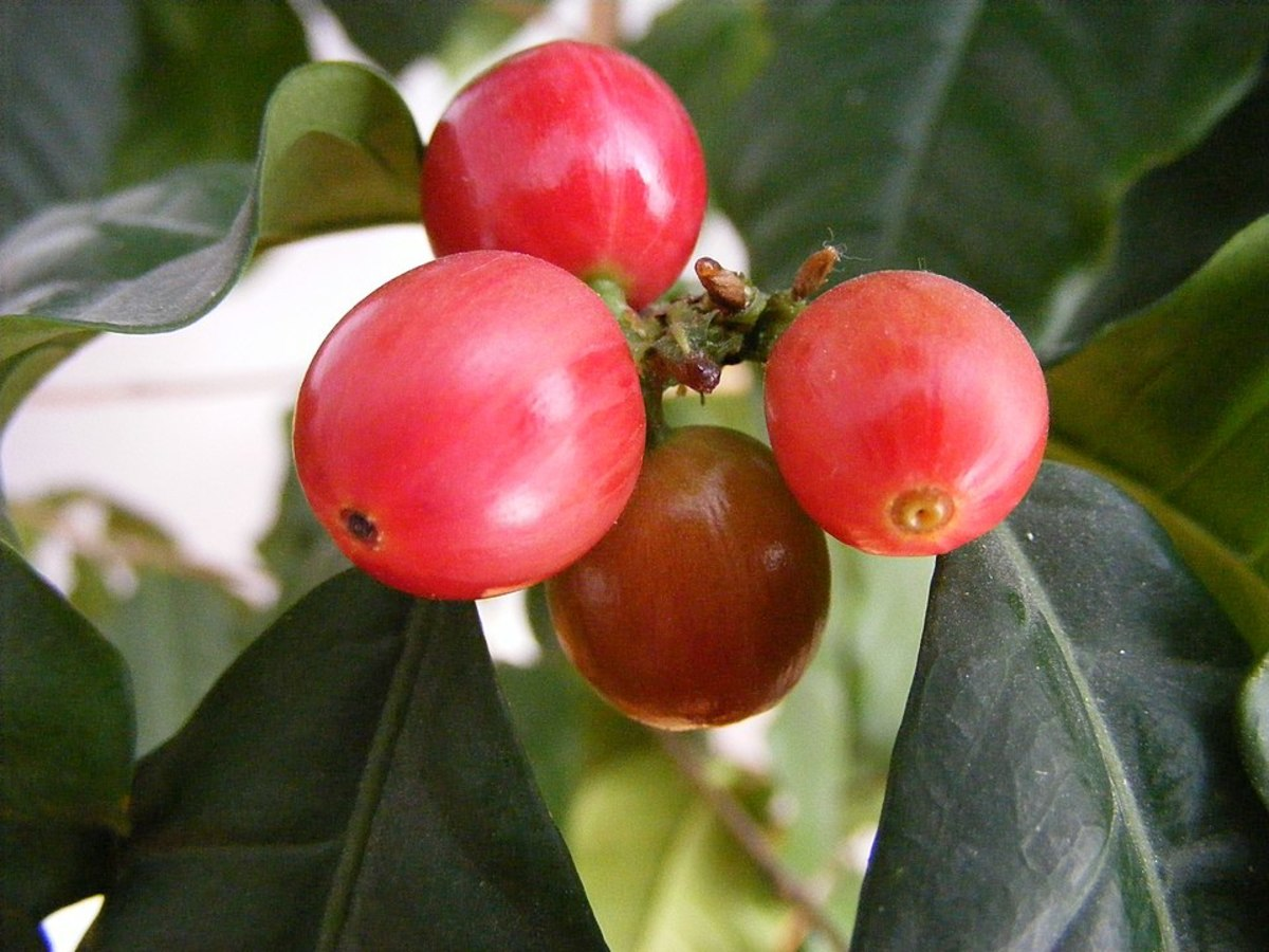 Ripe Coffee Berries