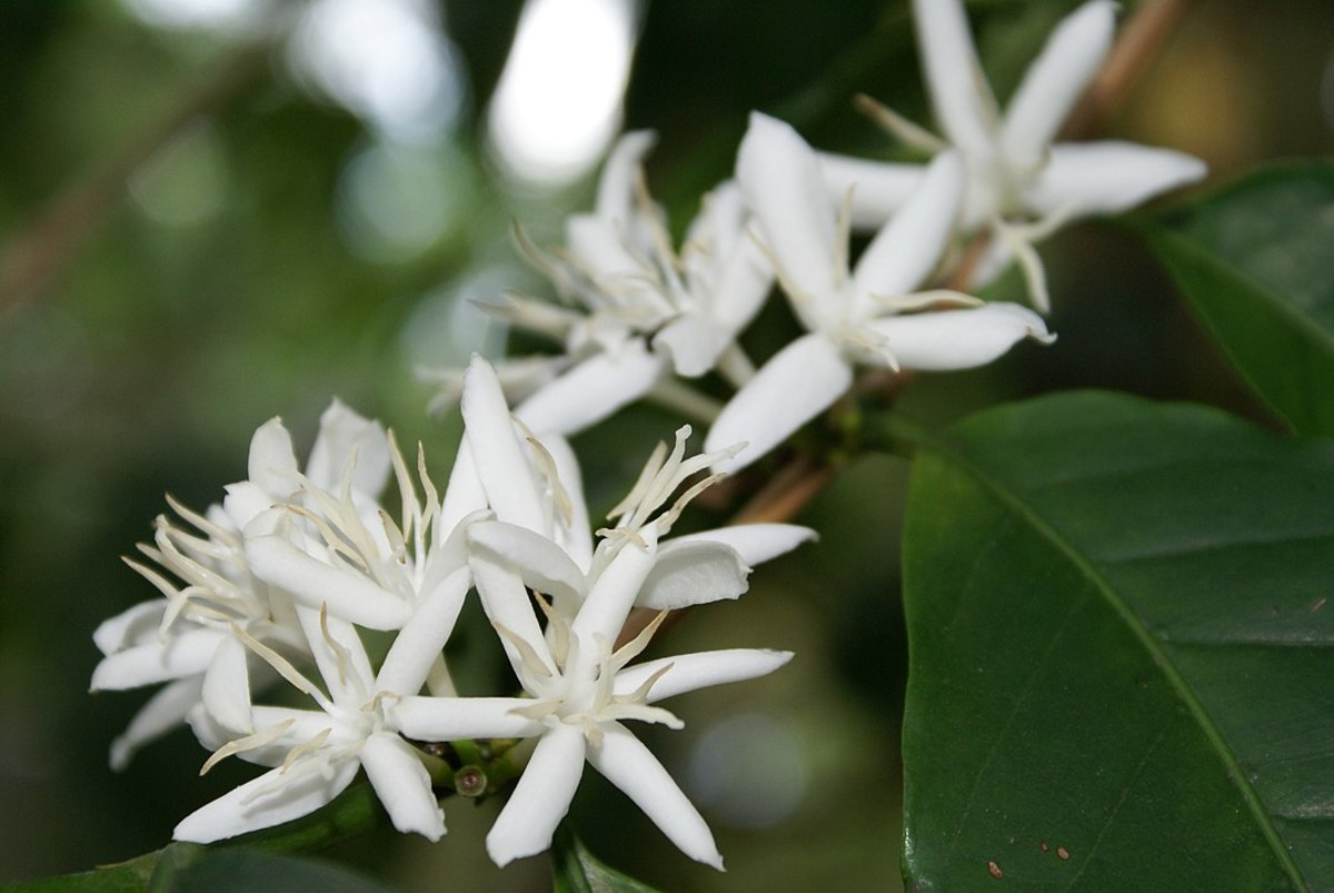 Flowers of the Coffee Plant