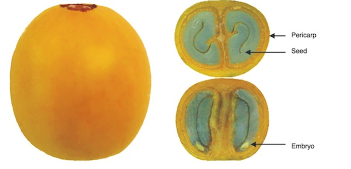 Anatomy of the Coffee Fruit (Berry)
