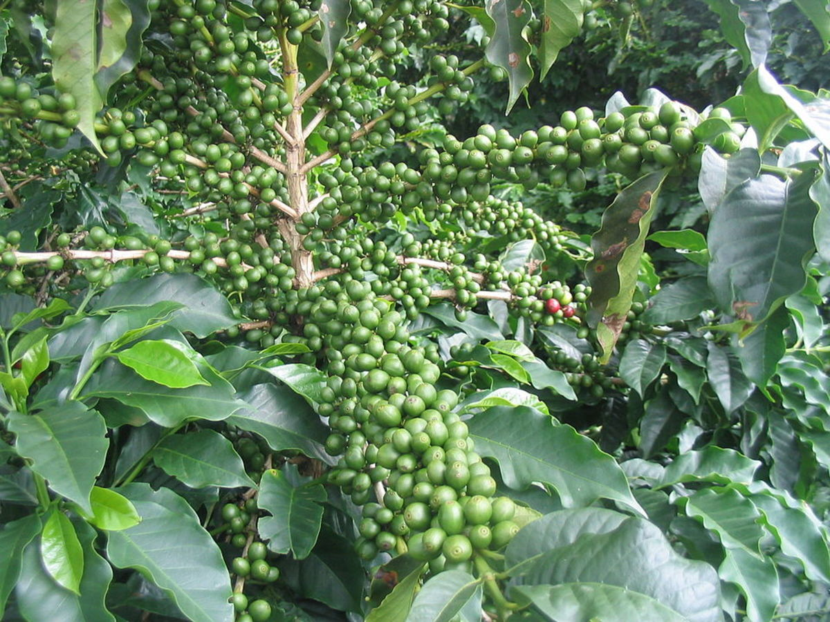 Coffea arabica with unripe fruits