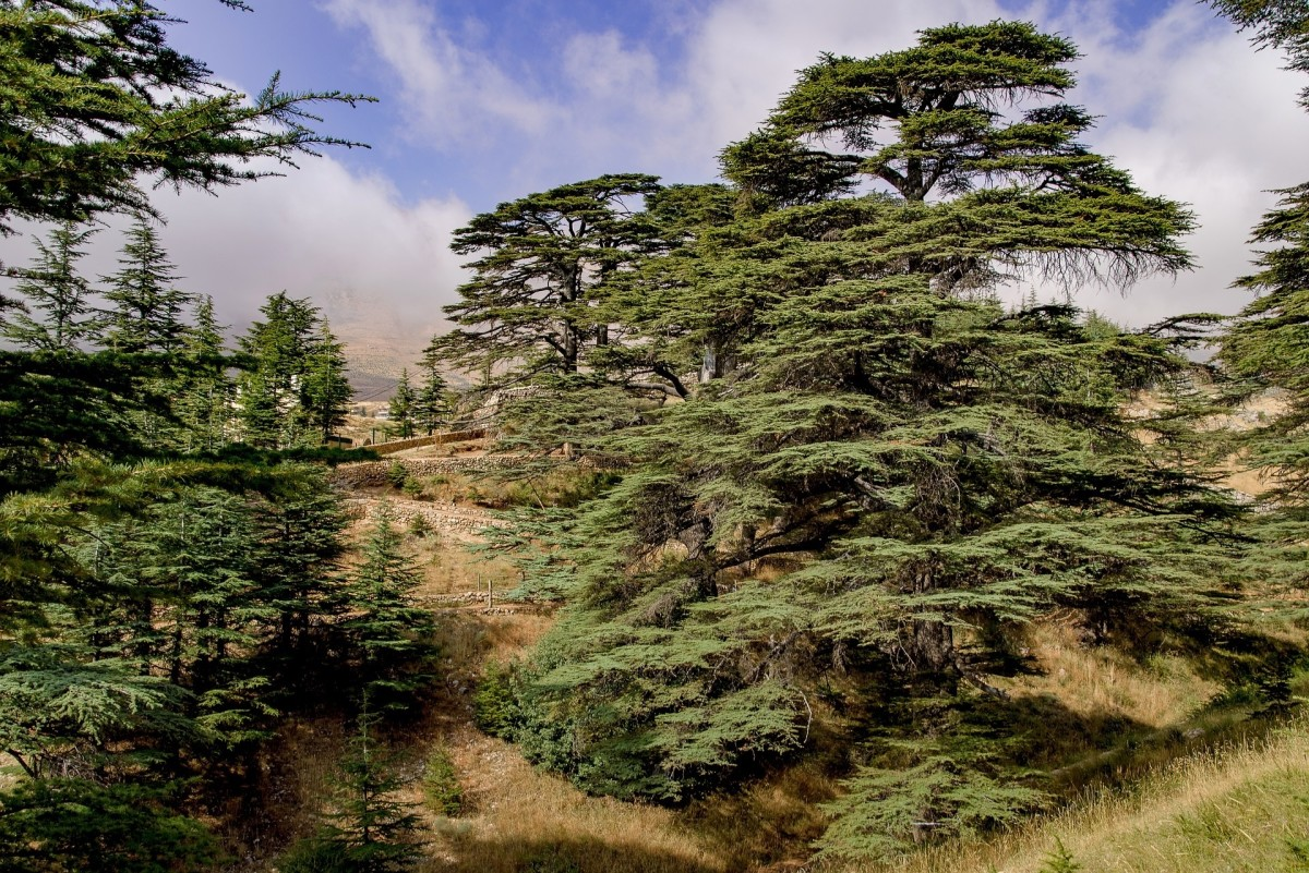 The Cedars of the Lord in Lebanon