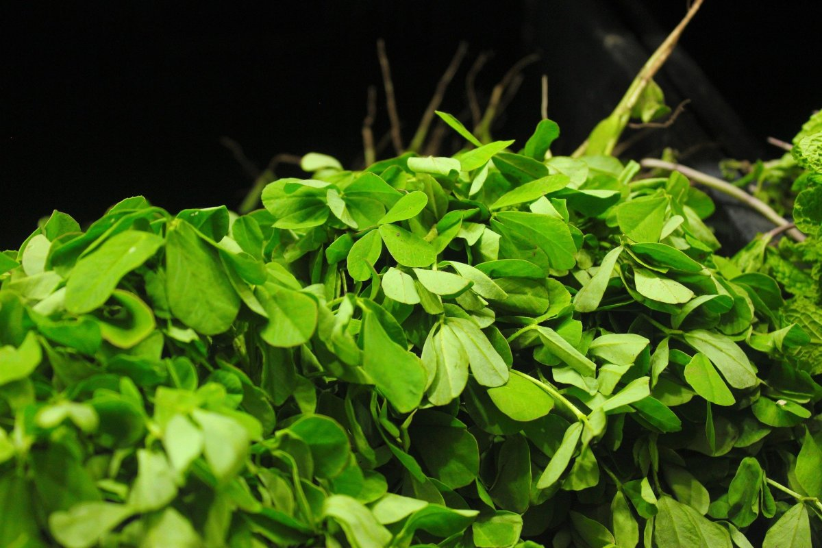 Potential Health Benefits Of Fenugreek or Hilba