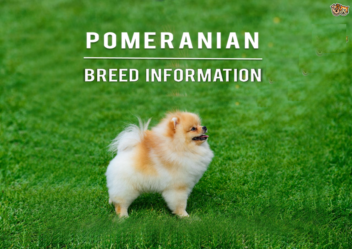 Pomeranian Dog Breed Information and Types