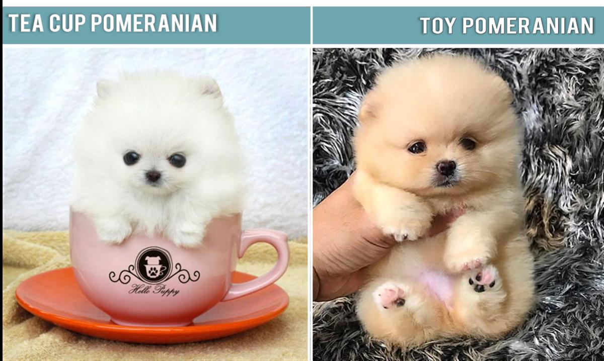 Toy Pomeranian, Pocket Pomeranian, Mini Pomeranian, Micro Pomeranian,