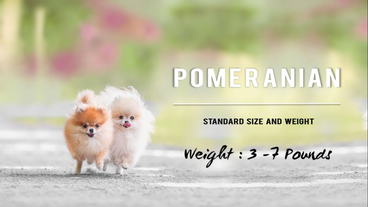 Standard Pomeranians weigh 3–7 pounds.