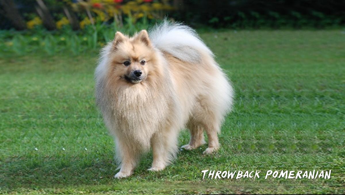 Throwback Pomeranian