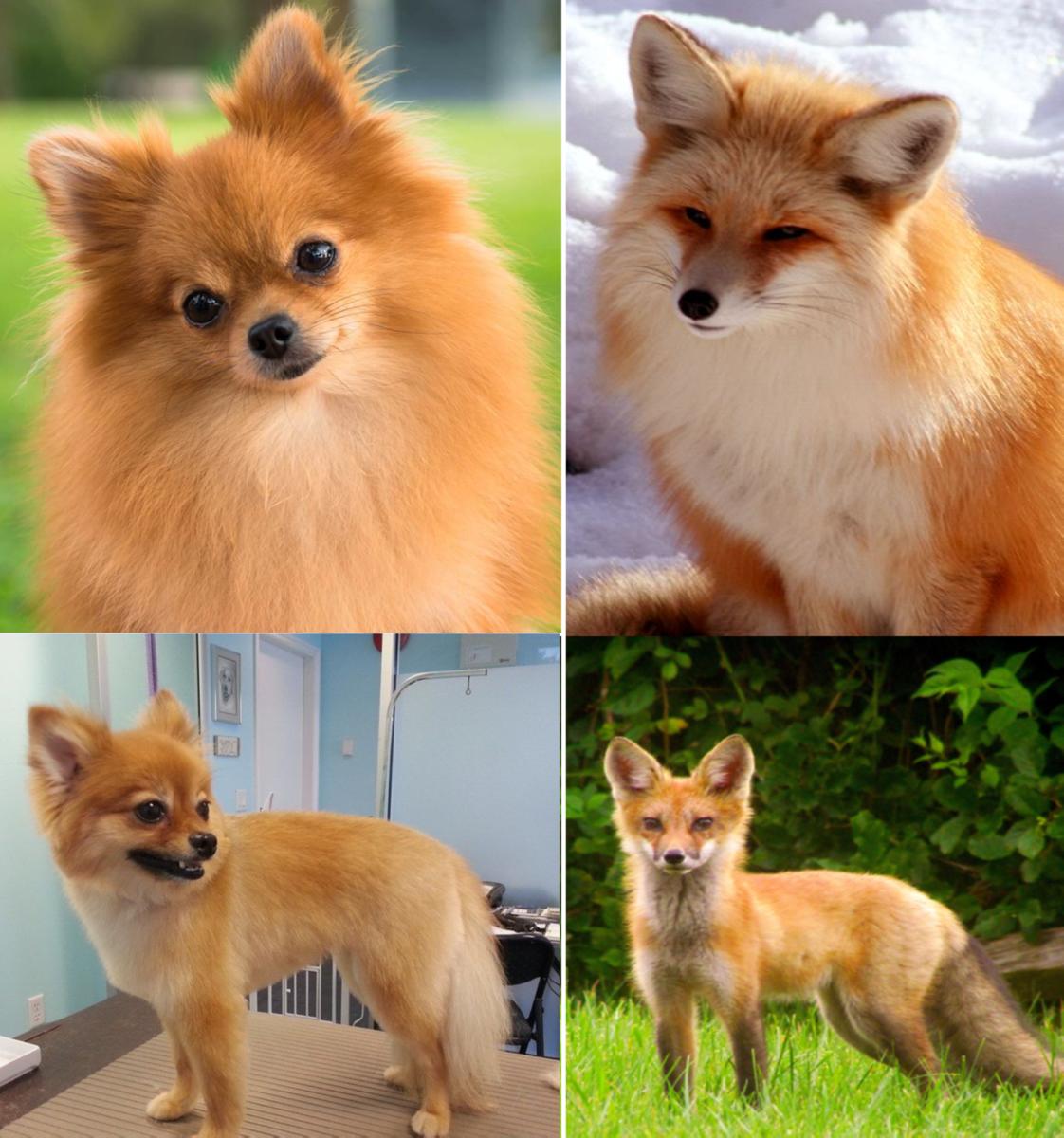 Fox Face Pomeranian