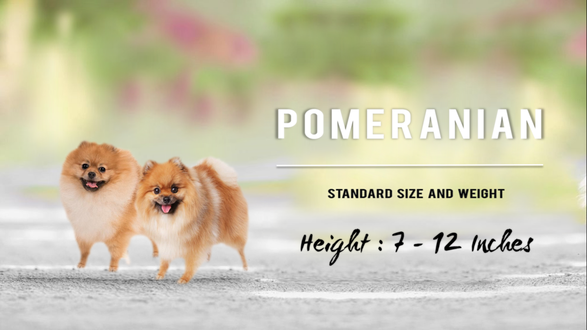 Standard Pomeranians are 7–12 inches tall.